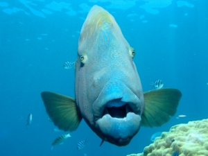 19-Marvin-the-Wrasse-2-550x413