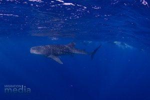 Our Whale Shark!