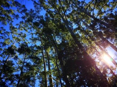 fraser-treetops