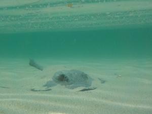 Sting ray on shark bay, Heron Island
