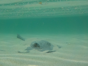 Sting ray on shark bay, Heron Island
