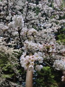 Blossom on campus