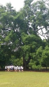Tembusu Tree #tembusudragons